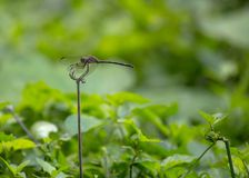Mosquito On Stalk Royalty Free Stock Photography