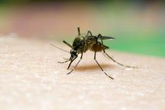 Mosquito sucking blood. Macro shot Stock Photography