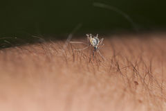 Mosquito sucking blood from hand covered with hair Royalty Free Stock Photo