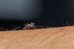 Mosquito is sucking blood Royalty Free Stock Images