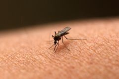 Mosquito sucking blood Royalty Free Stock Photos
