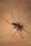 Mosquito sucking blood. Royalty Free Stock Photography