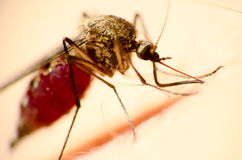 Mosquito. The mosquito sucks blood from people hand and we can see blood in a nose and a paunch Royalty Free Stock Photos
