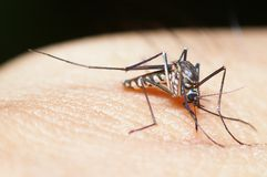Mosquito in Thailand Royalty Free Stock Images