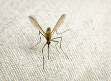 Mosquito trying to bite stock photography