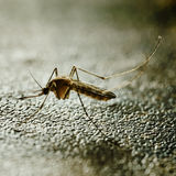 Mosquito on the wall. Stock Image