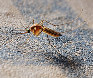 Mosquito on the wall. Stock Images