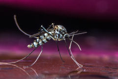 Mosquito on water. Macro Dangerous Zica virus aedes aegypti mosquito on skin human, Dengue, Chikungunya, Mayaro fever Royalty Free Stock Photos