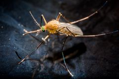 A mosquito on water surface. A mosquito on dark water surface inside a water tank royalty free stock photography