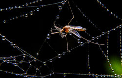Mosquito on WEB Stock Photography