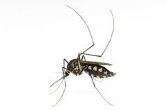 Mosquito on white background. A mosquito on white background Royalty Free Stock Image
