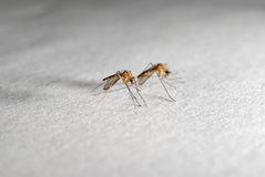 Mosquitoes Royalty Free Stock Image