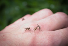 Mosquitoes bite into hand Stock Photo