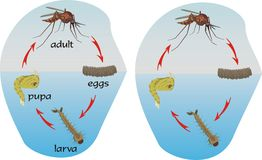 Mosquitoes - circle of life Royalty Free Stock Photos
