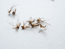Mosquitoes dead Royalty Free Stock Photos