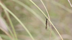Mosquitoes on a leaf in nature stock video footage