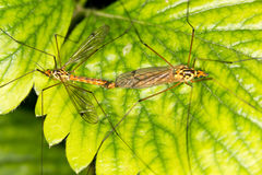 Mosquitoes make love Royalty Free Stock Photos