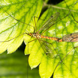 Mosquitoes make love Stock Photo