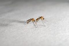 Mosquitos imagem de stock royalty free