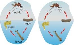 Mosquitos - círculo de la vida Fotos de archivo libres de regalías