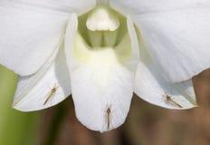 Mosquitos do close up três nas pétalas brancas da orquídea Imagens de Stock