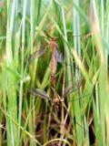 Mosquitos mating Stock Photos