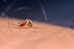 Mosquitos que chupan sangre Fotos de archivo libres de regalías