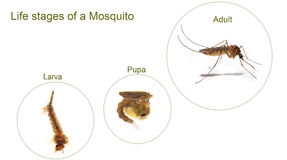 Mosquitto Royalty Free Stock Images