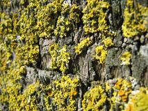Moss 1. Landscape photo of a yellow lichen royalty free stock photography