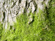 Moss 1. Moss on the bark royalty free stock images