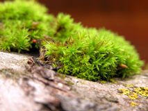 Moss. Closeup of moss growing on an old tree branch Royalty Free Stock Photos