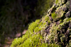 Moss. Growing at the base of the tree in summer Stock Photography