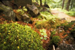 Moss. Detail of moss in wood, Czech Republic Stock Image