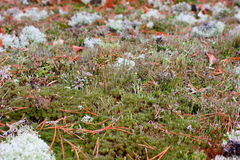Moss. A closeup of moss surrounded by dry pine-needles Royalty Free Stock Images