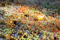 Moss. Close-up of a green moss with spores Royalty Free Stock Photo