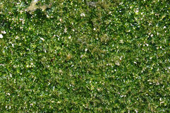 Moss. A horizontal green wet moss background Royalty Free Stock Image