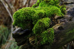 Moss. Growing on a fallen tree Stock Images