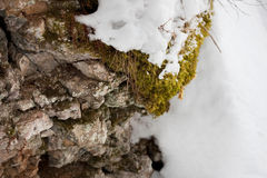 Moss. With snow on the rock Royalty Free Stock Photos