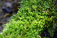 moss Fotografering för Bildbyråer