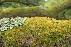 Moss. Closeup from moss in a tree Stock Photo