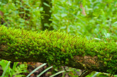 Moss. Green Moss in the forest Royalty Free Stock Photos
