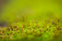 Moss. Marco closeup green background Stock Photography
