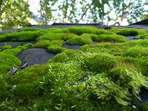 Moss Royaltyfri Foto