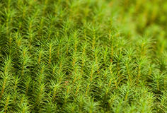 Moss. Green moss in swamp forest Royalty Free Stock Photo