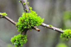 Moss Royalty Free Stock Photos