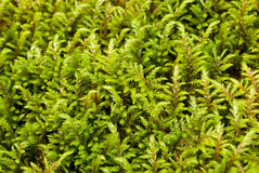 Moss. Green moss in wood close up Stock Image