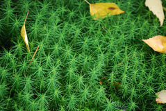 Moss. Closeup of fresh green moss Royalty Free Stock Photos