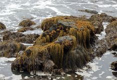 Moss, algae and seaweed on a large rock in the shallow waters. Of the New England north shore stock photography