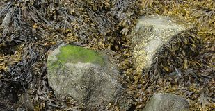 Moss, algae and seaweed on a large rock in the shallow waters. Of the New England north shore stock image