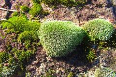 Moss Along bianco verde e verdastro la superficie di una roccia fotografie stock